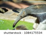 anteater playing in freedom | Shutterstock . vector #1084175534