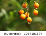 duranta drdcta in drops of rain ... | Shutterstock . vector #1084181879