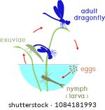 life cycle of dragonfly.... | Shutterstock .eps vector #1084181993