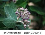 purple crown flower   giant... | Shutterstock . vector #1084264346