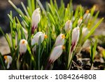 white crocuses growing on the... | Shutterstock . vector #1084264808