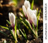 white crocuses growing on the... | Shutterstock . vector #1084264814