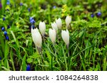 white crocuses growing on the... | Shutterstock . vector #1084264838