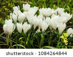white crocuses growing on the... | Shutterstock . vector #1084264844