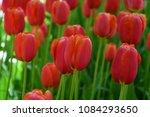 tulips flowers garden | Shutterstock . vector #1084293650