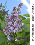 double lilac flowers blossom... | Shutterstock . vector #1084294550