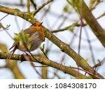 the european robin  erithacus...   Shutterstock . vector #1084308170
