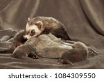 ferret mother take care of her... | Shutterstock . vector #1084309550