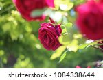 the red rose which blooms in a... | Shutterstock . vector #1084338644
