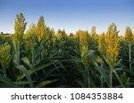 Small photo of Sorghum field. Other names include durra, Egyptian millet, feterita, Guinea corn, jowar, juwar, milo shallu and solam