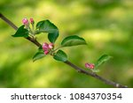 Crab Apple Tree Branch And...