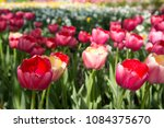colourful fresh spring tulips... | Shutterstock . vector #1084375670
