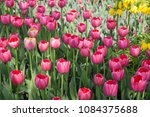 colourful fresh spring tulips... | Shutterstock . vector #1084375688