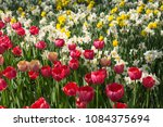colourful fresh spring tulips... | Shutterstock . vector #1084375694