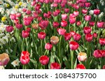 colourful fresh spring tulips... | Shutterstock . vector #1084375700