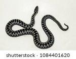 vipera berus male | Shutterstock . vector #1084401620