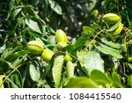 Young Pecan Nuts Growing On Th...