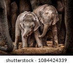 Young African elephants under protection of the adults in the herd at a waterhole.  Addo Elephant National Park
