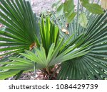 palm in the garden | Shutterstock . vector #1084429739