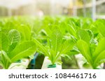 Hydroponic Lettuces In...