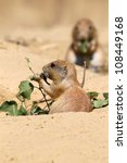 cute little prairie dog eating leaves - stock photo