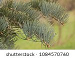 "Small photo of Abies concolor ""Violaceae"" is a fir with long, silvery needles. They are soft to touch."