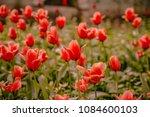 field of red tulips | Shutterstock . vector #1084600103