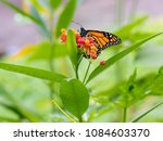 the monarch butterfly or simply ... | Shutterstock . vector #1084603370