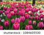 colorful fresh spring tulips... | Shutterstock . vector #1084605530