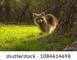 Cute Young Raccoon Watching...