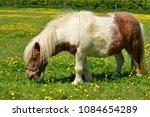 Shetland pony  u.k. domestic...