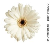 Gerbera Daisy Flower Isolated...