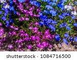 edging lobelia  lobelia erinus  ... | Shutterstock . vector #1084716500
