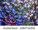 edging lobelia  lobelia erinus  ... | Shutterstock . vector #1084716506