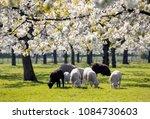 sheep and lambs graze in green...   Shutterstock . vector #1084730603