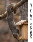 Gray Squirrel Hanging From The...