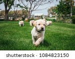 Stock photo baby puppies running in the garden 1084823150