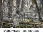 deer in the woods | Shutterstock . vector #1084823339