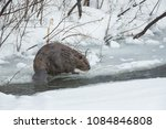 Small photo of American Beaver in Wyoming Agnieszka Bacal.