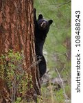 """TREE HUGGER"" environmental symbolism; Black Bear embraces a very large pine tree,"