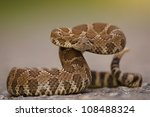 Western Rattlesnake Coiled And...