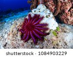 a crown of thorns starfish... | Shutterstock . vector #1084903229