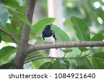 Small photo of The magpie-robins or shamas are medium-sized insectivorous birds in the genus Copsychus. They were formerly in the thrush family Turdidae, but are now treated as part of the Old World flycatcher famil