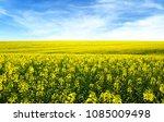 golden field of flowering... | Shutterstock . vector #1085009498