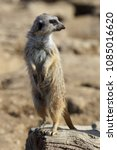 suricata standing on a guard.... | Shutterstock . vector #1085016620