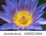 close up of blooming deep... | Shutterstock . vector #1085021846