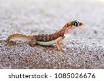 the namib sand gecko or web... | Shutterstock . vector #1085026676