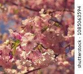 sakura tree in flowers | Shutterstock . vector #1085063594