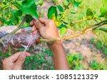 Grafting Branch Is Lemon Tree....