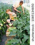 couple of farmers picking ripe... | Shutterstock . vector #1085134850